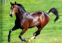 Арабская порода лошадей - важные характеристики