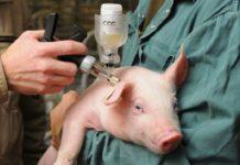 Вакцинация - чума свиней