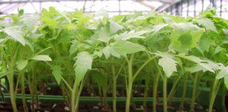 Выращивание рассады помидор в теплице