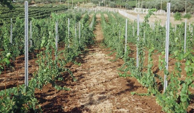 Как правильно подвязывать виноград на шпалеру