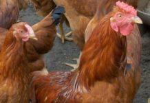 Кокцидиоз у кур – лечим и боремся с недугом правильно