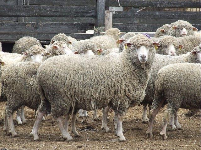 Самый вкусный шашлык или Куйбышевские овцы