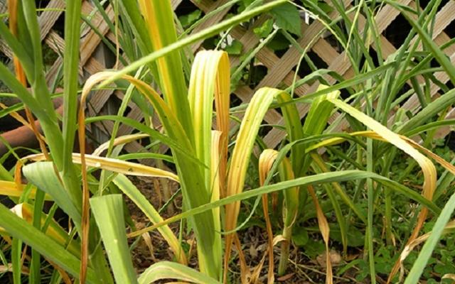 Почему желтеют листья озимого чеснока весной - причины, чем полить и обработать