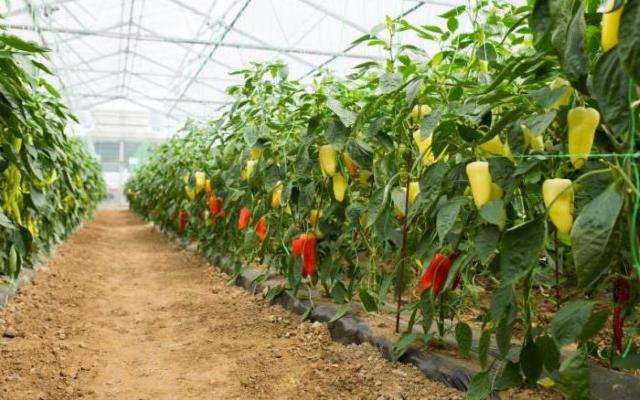 Правильное выращивание перца в теплице из поликарбоната
