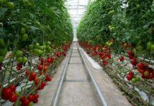 Секреты выращивания помидор в теплице из поликарбоната