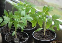 Советы для тех, кто хочет вырастить здоровую рассаду помидор
