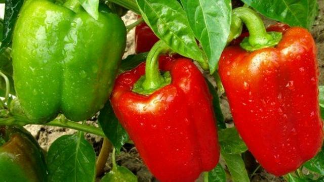 Успешное выращивания болгарского перца
