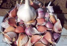 Хочешь щедрый урожай – озимый чеснок от болезней оберегай