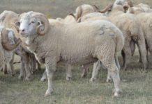 Дагестан в I полугодии 2018г планирует удвоить поставки баранины в Иран