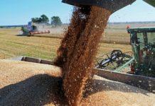 Экспорт пшеницы из Новосибирской области вырос в восемь раз