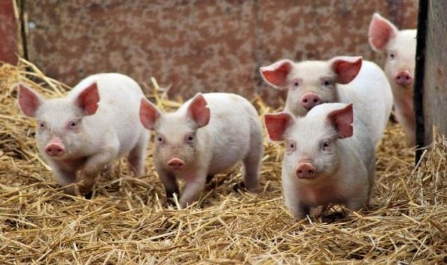 Россия снимает запрет на ввоз свиней и продукции свиноводства из ЕС