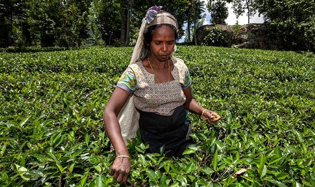 Россия с 18 декабря ограничивает ввоз чая из Шри-Ланки