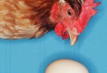 Куры-воришки или куда подевались яйца