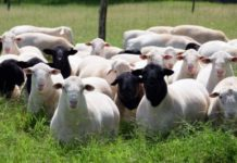 Дорпер - одна из лучших мясных пород овец сегодня