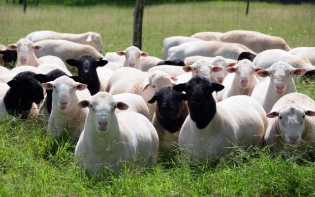 Дорпер — одна из лучших мясных пород овец сегодня