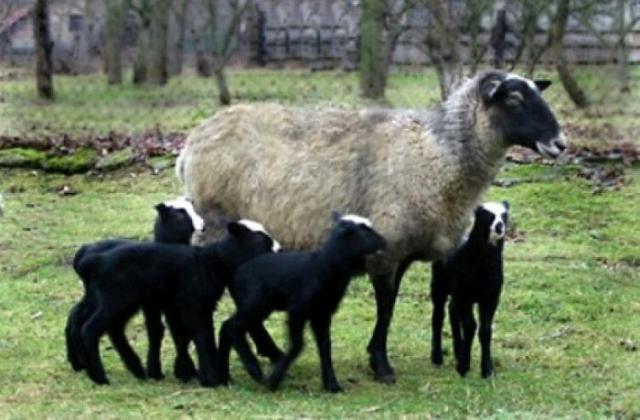 Легендарная романовская порода овец