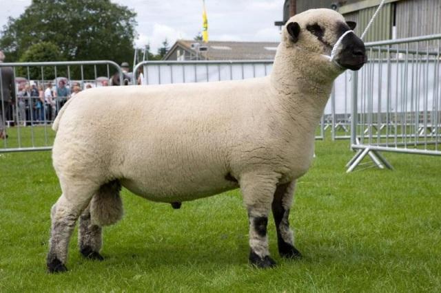 Породы овец — обзор видов для разведения в частном подворье