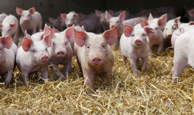 В Омской области создали буферную зону для защиты от чумы свиней