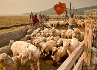Загон для овец своими руками