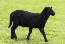 Уникальные карачаевские овцы