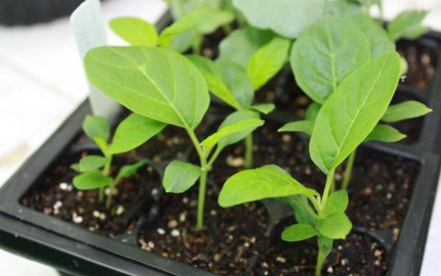 Баклажаны на рассаду: от посева до высадки в грунт