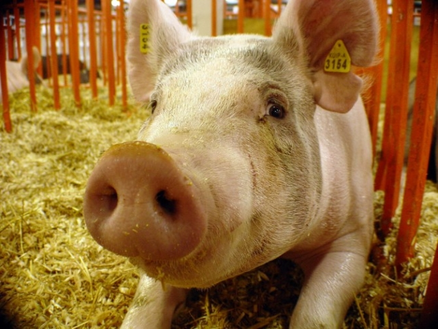 Бесплодность свиноматок