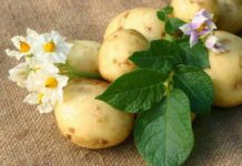 Когда картофелю нужно больше влаги