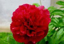 Красный пион