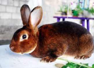 Кролики рекс — описание породы