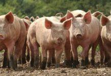 Минеральное кормление свиней и воспроизводство