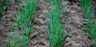Осеннее удобрение озимой пшеницы