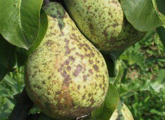 Парша яблонь и груш