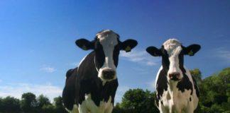 Породы коров — описание