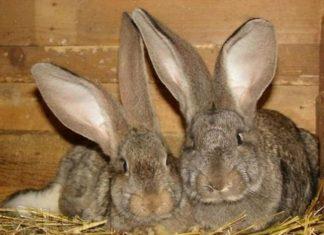 Породы кроликов великан