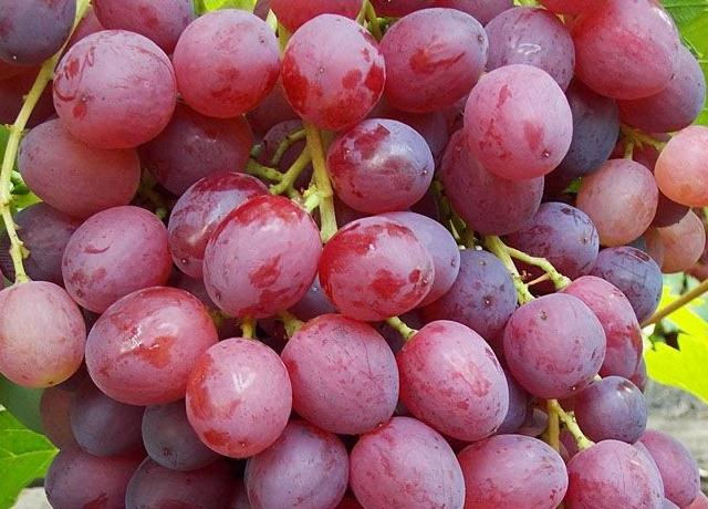 Ранний виноград Русский