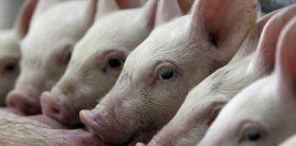 Репродукция свиней как по нотам