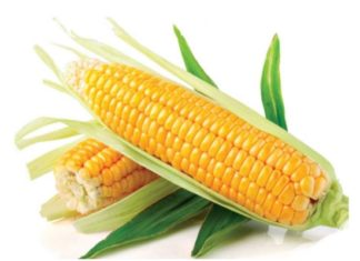 Сахарная кукуруза — одна из самых доходных культур