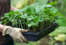 Секреты выращивания крепкой рассады огурцов