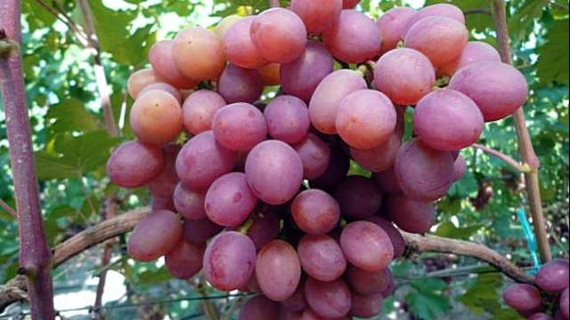 Сорт винограда Гурман ранний