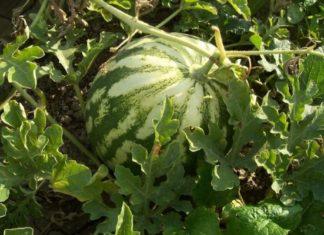 Ступенчатый посев арбуза