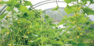 Технология выращивания огурцов в теплице