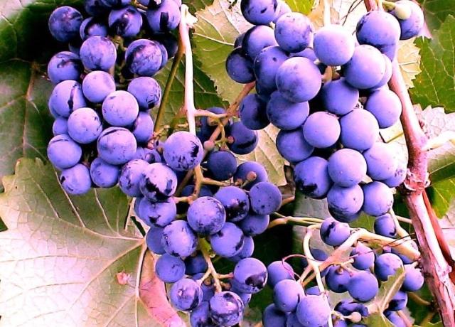 Винограда Фиолетовый ранний