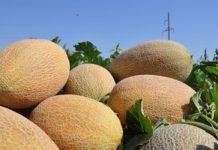 Выращивание дыни в открытом грунте