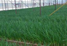 Выращивание зеленого лука на перо в теплице зимой