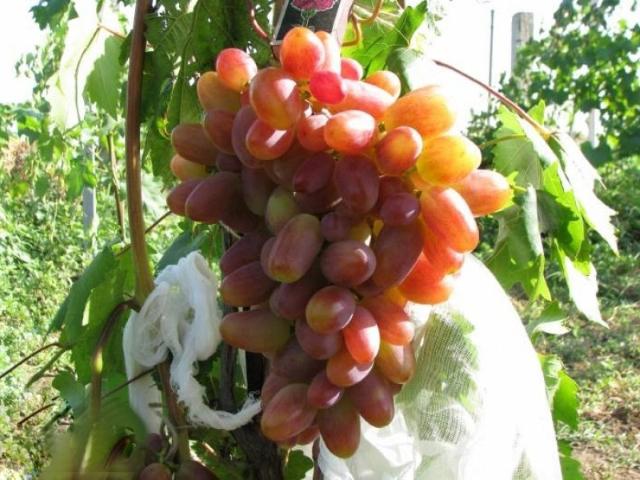 анний сорт винограда Преображение