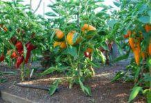 Выращивание перцев в теплице: сорта, посадка, уход, болезни