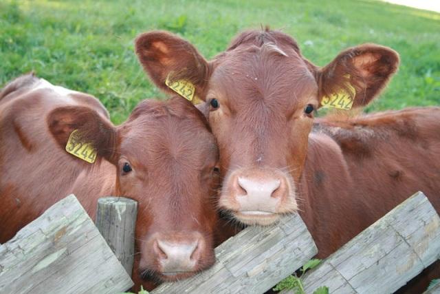 Стоматиты у коров и их связь с качеством корма