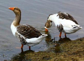Породы гусей — описание