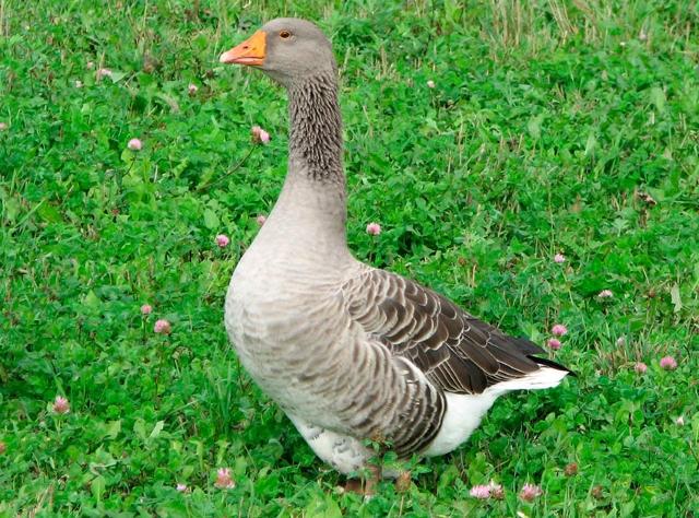 Роменская порода гусей