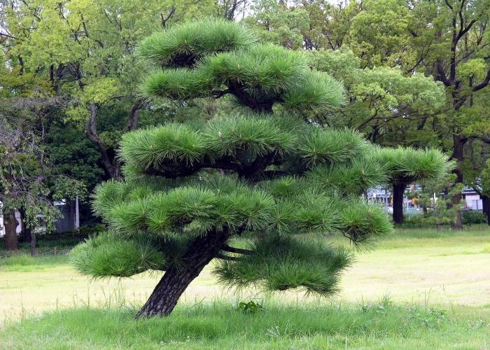Японская черная сосна, она же Рinus Тhunbergii (Тунберг)